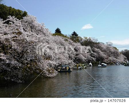 春 桜満開の井の頭公園 14707026