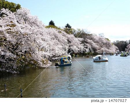 春 桜満開の井の頭公園 14707027