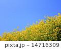 春の菜の花 14716309