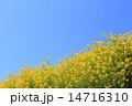 春の菜の花 14716310