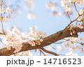 桜 14716523
