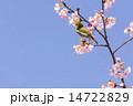メジロ 桜 鳥の写真 14722829