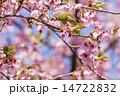 メジロ 桜 鳥の写真 14722832