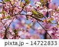 メジロ 桜 鳥の写真 14722833