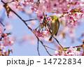 メジロ 桜 鳥の写真 14722834