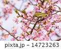 メジロ 桜 鳥の写真 14723263