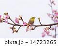 メジロ 桜 鳥の写真 14723265