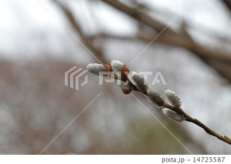キヌヤナギの花穂と雨雫 14725587
