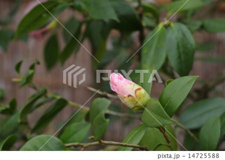 浄蓮の春・ツバキの花の蕾 14725588