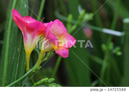 フリージア赤花と雨雫 14725589