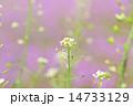 ぺんぺん草 ナズナ 花の写真 14733129