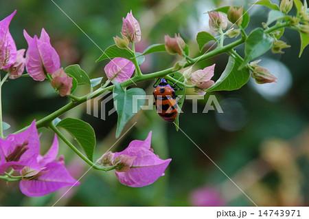 ブーゲンビリアの葉にとまるオオキンカメムシ 14743971
