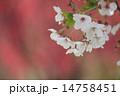 染井吉野 桜の花 桜の写真 14758451