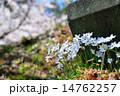 花韮の花 ハナニラ 14762257