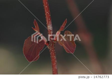 自然 植物 カツラ、若葉です。春は赤、夏は緑、冬は黄色。信号機みたいな葉です 14762773