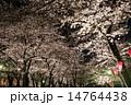 染井吉野 夜桜 桜の写真 14764438