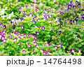 花 トレニア トレニア属の写真 14764498