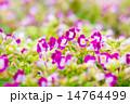 花 トレニア トレニア属の写真 14764499