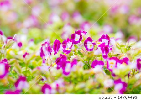Torenia,Wishbone flower 14764499