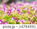 花 トレニア トレニア属の写真 14764501