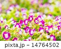 花 トレニア トレニア属の写真 14764502