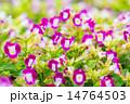 花 トレニア トレニア属の写真 14764503