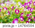 花 トレニア トレニア属の写真 14764504