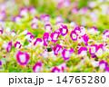 花 トレニア トレニア属の写真 14765280