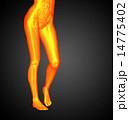 骨 腸 骨格のイラスト 14775402