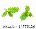 山椒の新芽 14776120