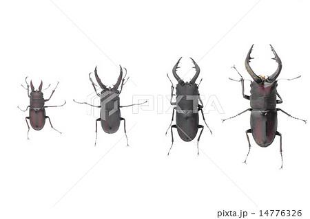 ノコギリクワガタのオスの大きさによる比較 14776326