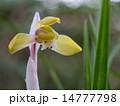 春蘭 東洋蘭 花の写真 14777798