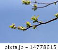 カリン 若葉 枝の写真 14778615
