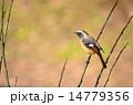 可愛いジョウビタキ♪ 14779356