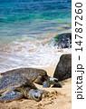 青、海、亀 14787260