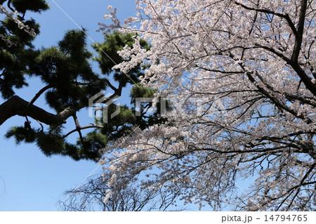 桜と松のコントラスト 14794765
