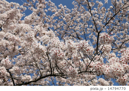 鈴なりに咲いた桜の花 14794770