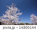 大阪城 花 桜の写真 14800144