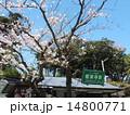 鎌倉 極楽寺駅の桜 14800771