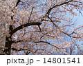 桜満開 百花繚乱 入学式と卒業式 14801541