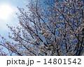 桜満開 入学式と卒業式 逆光 14801542