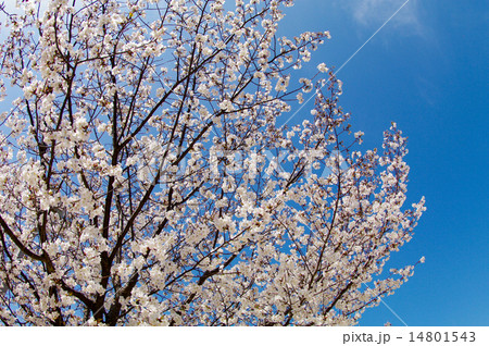 アイスブルースカイ/桜満開 14801543