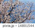 桜満開 入学式と卒業式 14801544