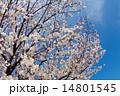 桜満開 アイスブルースカイ 青空 14801545