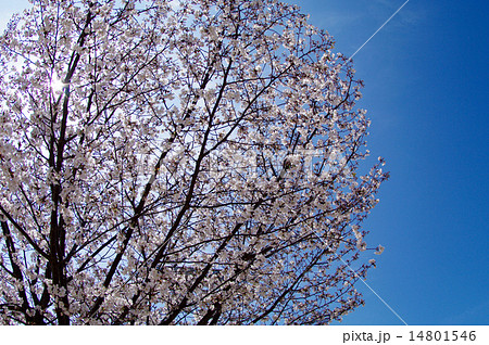 桜満開 アイスブルースカイ 14801546