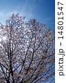 桜満開(縦写真)アイスブルースカイ 14801547
