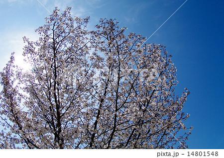 桜満開(アイスブルースカイ) 14801548