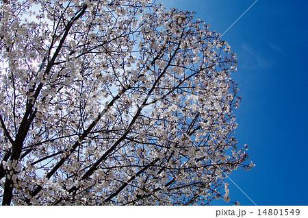 桜満開/アイスブルースカイ 14801549