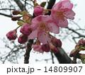 JR稲毛海岸駅前の咲き始めたカワヅザクラの桃色花 14809907