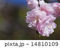 桜の花 14810109